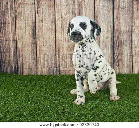 Begging Dalmatian Puppy