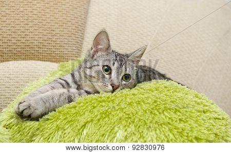 Portrait of elegant grey cat, domestic cat in blur background, cat portrait, animals