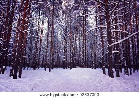 Pine forest