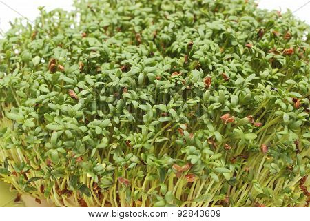 Fresh Green Watercress. White Background