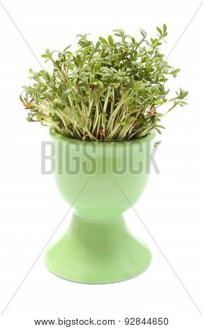 Fresh Green Cuckooflower In Green Cup. White Background