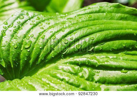Fresh Water Drops On A Lush Green Leaf