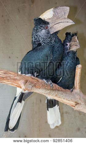 Black White-casqued  Hornbill Pair