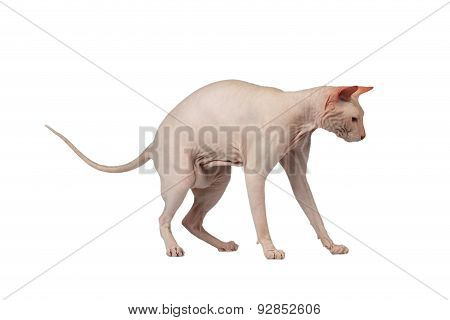 Pink Cat  Sphinx Stands. Naked Cat Isolated On White