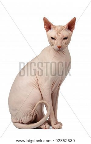 Pink Cat Sphinx Sits. Naked Cat Isolated On White