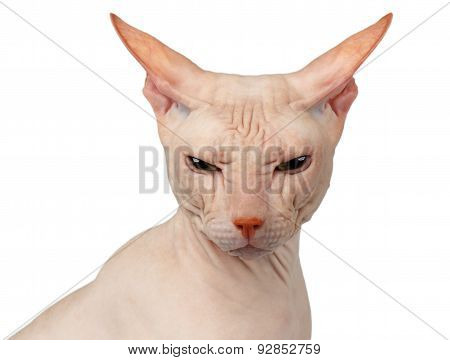 Closeup Bald Cat. Cat Of Breed Sphinx. Naked Cat Isolated