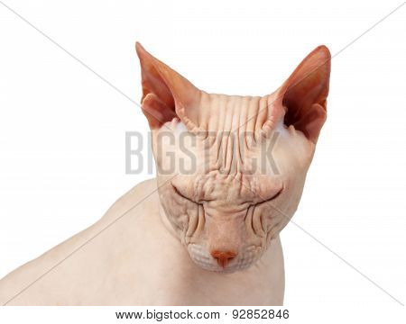 Closeup Bald Cat. Cat Of Breed Sphinx. Naked Cat Squinted Isolated