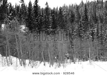 Winter Aspens And Pines B&W