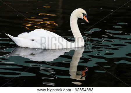 White Swan And Reflection