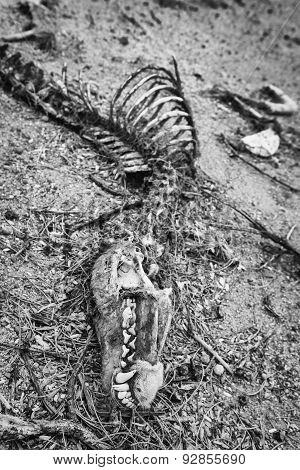 Black And White Coyote Bones