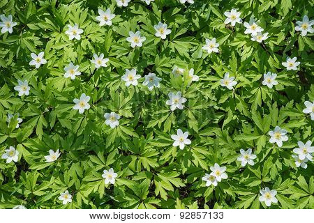 Wood Anemones Nature Background