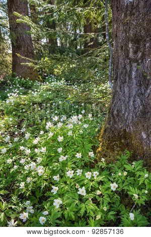 Wood Anemones In Spring