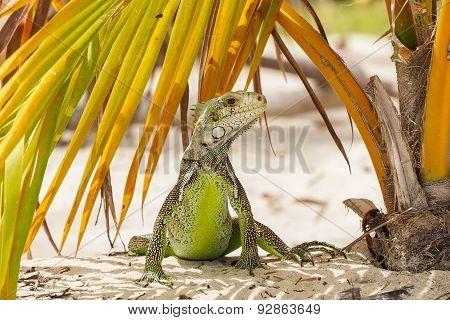 Funny iguana on a palm leaf