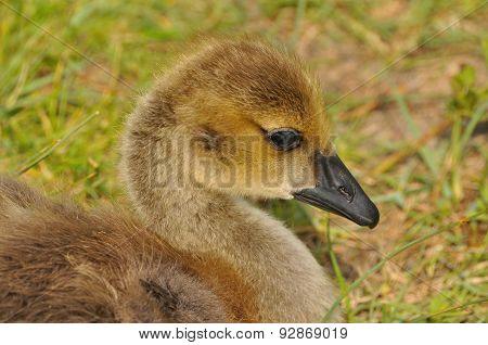 Portrait of Canda Goose Gosling