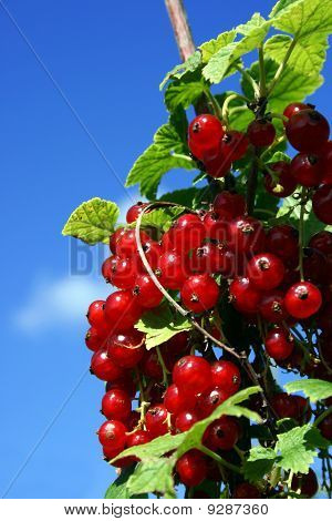 Red Currants And A Blue Sky