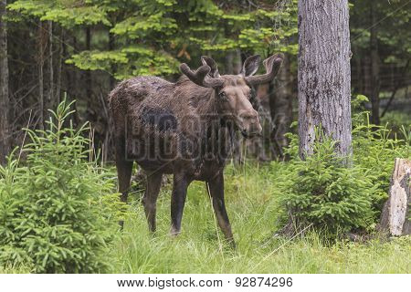 A lone large male moose