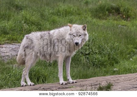 A lone Arctic Wolf in summer