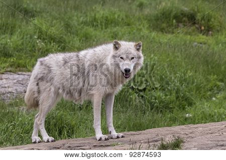 A lone Arctic Wolf