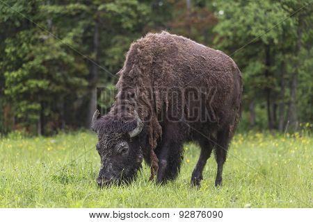 A lone grazing buffalo