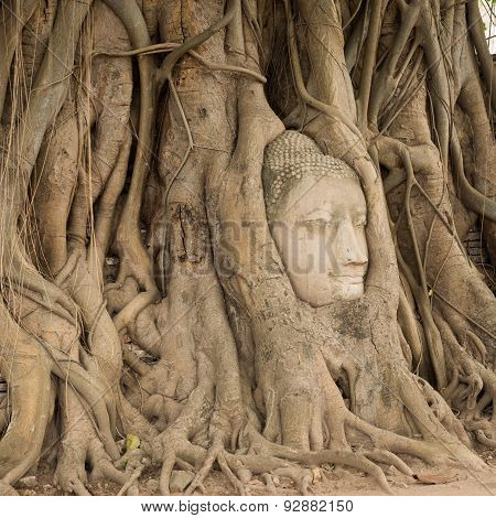 Stone Head Of Buddha Nestled In The Embrace Of Bodhi Tree's Roots