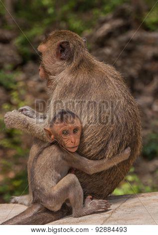 Little Baby Monkeys Hugging Her Mother, Thailand.