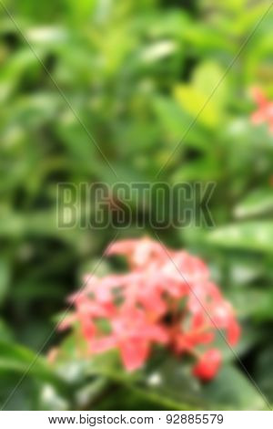 Ixora Flower,closeup Of Blooming Red Flower In The Garden