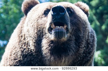 Dangerous Bear