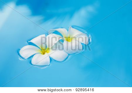 Tropical Flowers Plumeria On Swimming Pool