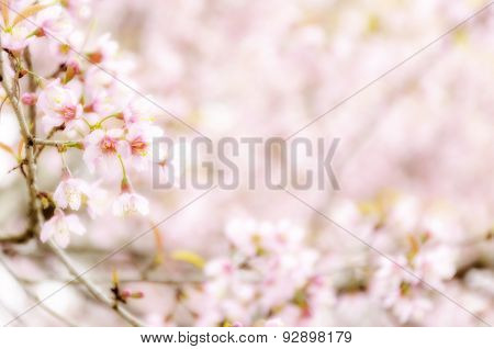 Sweet Sakura Blossom Blured Background