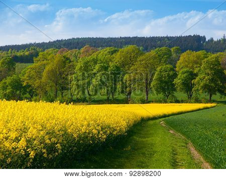 Field of rapeseed plant with country road