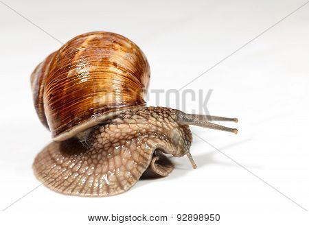 Curious Snail Look Around