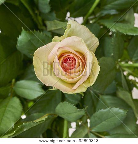pale rose flower close up