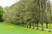 foto of row trees  - Avenue in springtime as seen from the outside - JPG