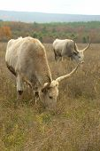 pic of oxen  - huge oxen grazing in the autumn meadow