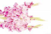 stock photo of gladiolus  - Pink gladiolus isolated on a white background - JPG