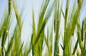stock photo of moustache  - green ears of barley with a moustache in the field - JPG