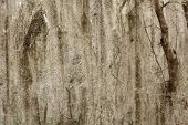 foto of tillandsia  - a picture of spanish moss hanging from a tree - JPG