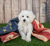 picture of little puppy  - Cute little Maltipoo puppy sitting in the grass with an american flag - JPG