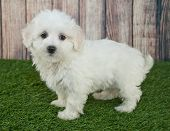 pic of maltipoo  - Sweet little Maltipoo puppy standing in the grass outdoors with a wooden fence behind her - JPG