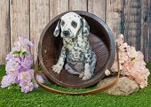 image of peek  - Cute little Dalmatian puppy peeking out of a bucket outdoors with flowers around her - JPG