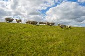 picture of dike  - Herd of sheep walking on a sunny dike in spring - JPG