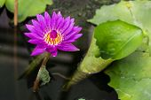 picture of water bug  - Big purple and yellow water lily is on the dark water with its big green leafs - JPG
