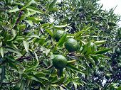 picture of tangerine-tree  - Fruits and leafs of the tangerine tree - JPG