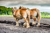picture of horse plowing  - couple of plowing horses on a field - JPG