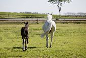 image of foal  - a white Holstein mare with young foal in a pasture - JPG