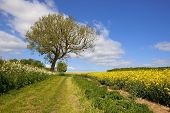 stock photo of ashes  - a grassy country footpath and bridleway with an ash tree running through agricultural scenery in the yorkshire wolds england under a blue sky in summer - JPG