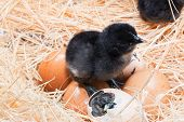 picture of born  - Newly born chick lying beside its brown egg - JPG