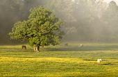 pic of cade  - Horses graze peacefully amongst the grass and yellow flowers in the morning mist - JPG