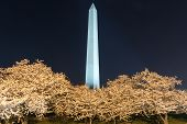 foto of washington monument  - Cherry Blossoms with Washington DC Washington Monument at night. ** Note: Visible grain at 100%, best at smaller sizes - JPG