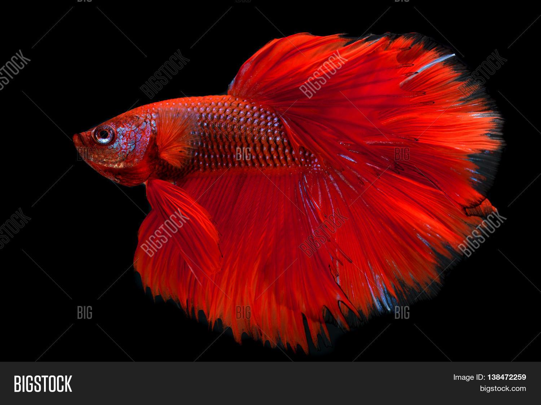 Red haft moon long tail betta fish image photo bigstock for Good betta fish names